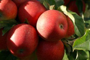 Gereifte Äpfel am Baum