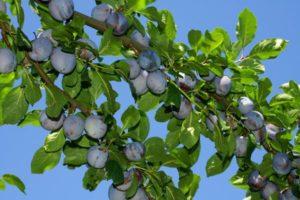 Gereifte Zwetschgen am Baum